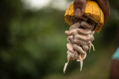 Nachhaltige Agroforstwirtschaft: Fairer Kakao-Anbau in Panama und Peru