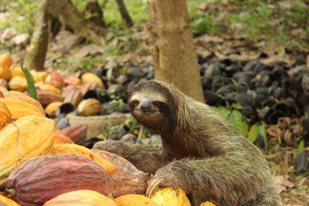 Faultiere sind nur selten auf dem Boden anzutreffen.Tiere im Regenwald.