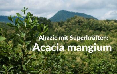 Akazie mit Superkräften: Acacia mangium