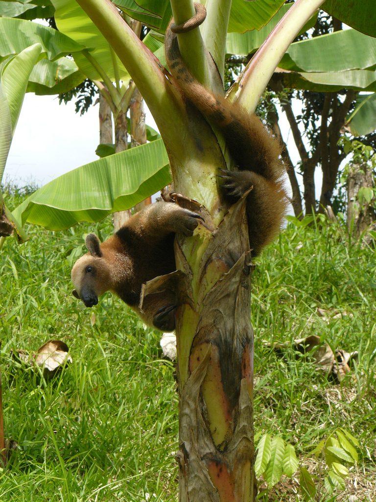 Ameisenbär.Tiere im Regenwald..