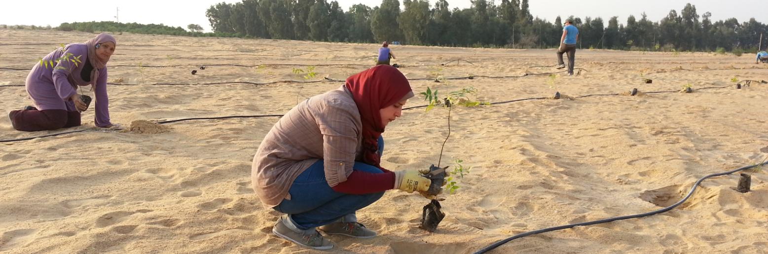 Setzlinge werden in der Wüste angepflanzt und über die Wasserleitungen mit vorbehandeltem Abwasser versorgt. Dieses System setzt DesertTimber, ein Projekt von ForestFinance, in Zusammenarbeit mit der Technischen Universität München und ägyptischen Wissenschaftlern in Ägypten um. Foto: DesertTimber Consulting eG