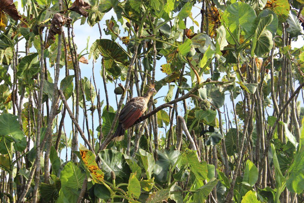 Hoatzin. Tiere im Regenwald.