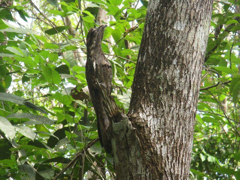 Urutau. Tiere im Regenwald.