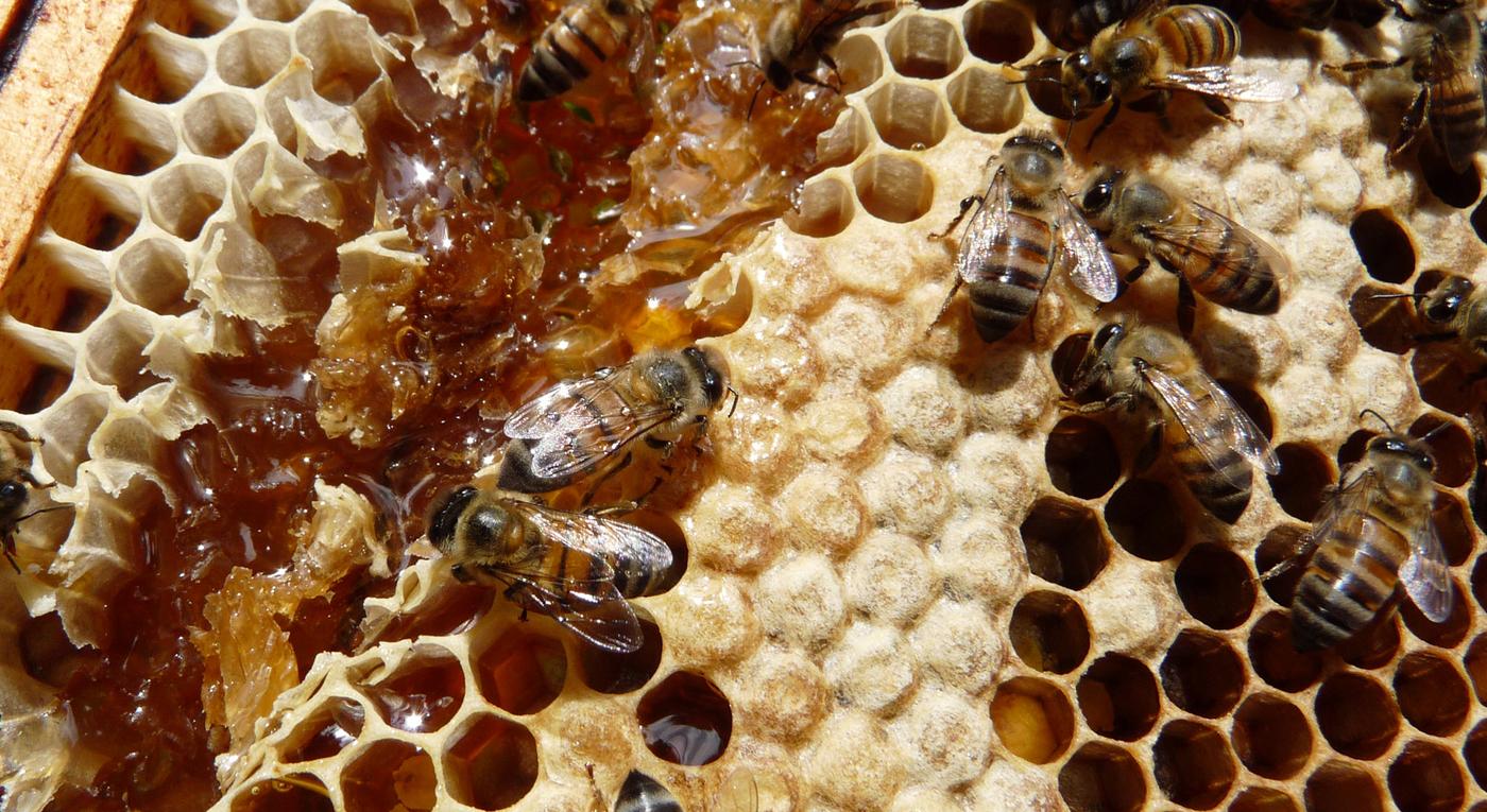 Honigbiene: Unsere kleinsten Mitarbeiterinnen: die fleißigen Bienchen in den ForestFinance-Wäldern. Foto: ForestFinance