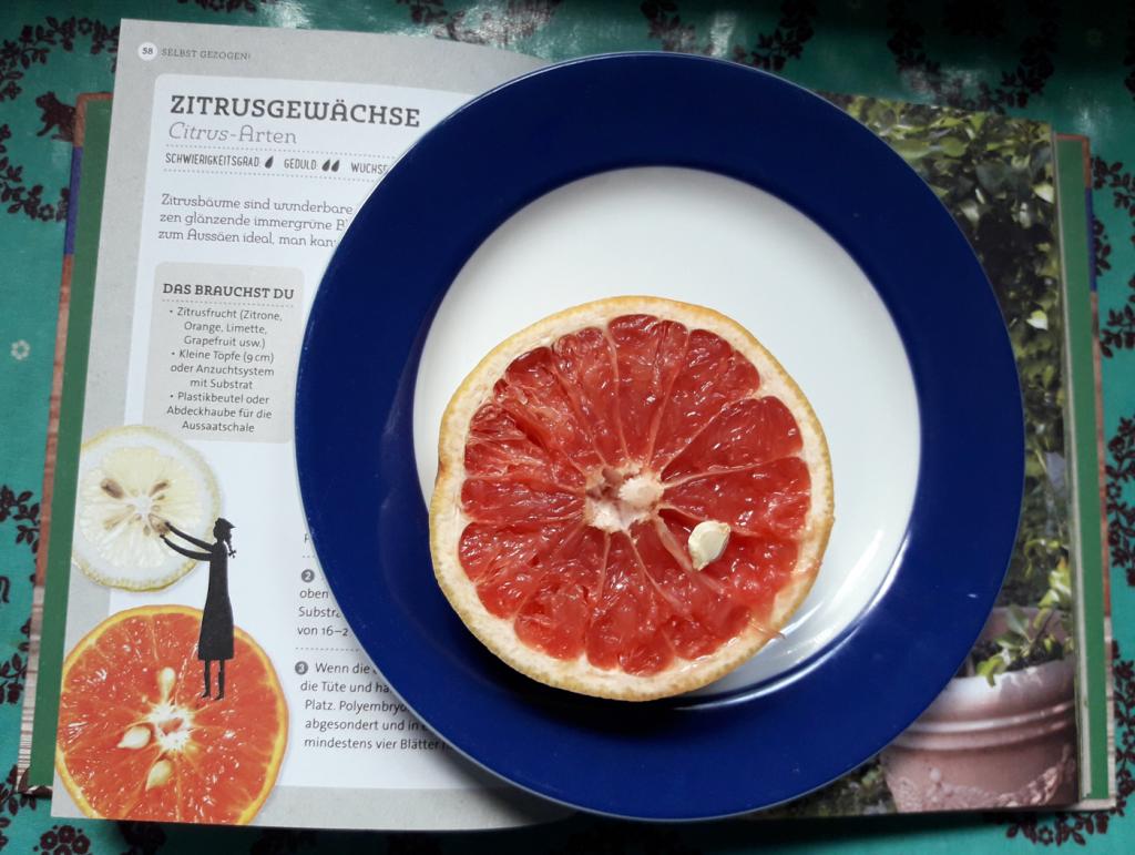Einfaches Starter-Pflanzprojekt: eine Grapefruit. Foto: Kristin Steffan