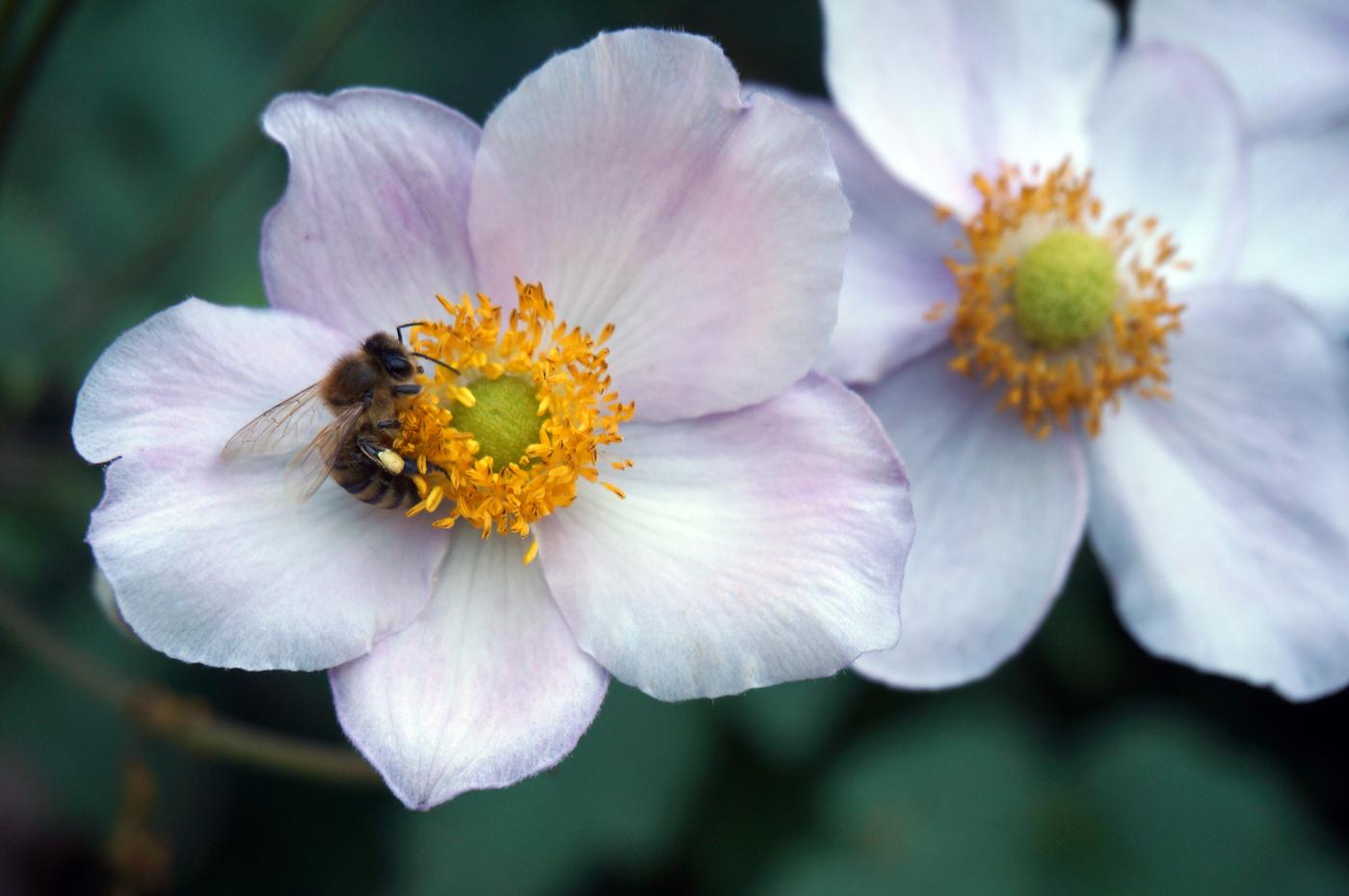Bienenweide: Bienen, Hummeln und Schmetterlinge freuen sich gleichermaßen über ein Angebot heimischer Blühpflanzen. Foto: Lousia Lösing/ForestFinance