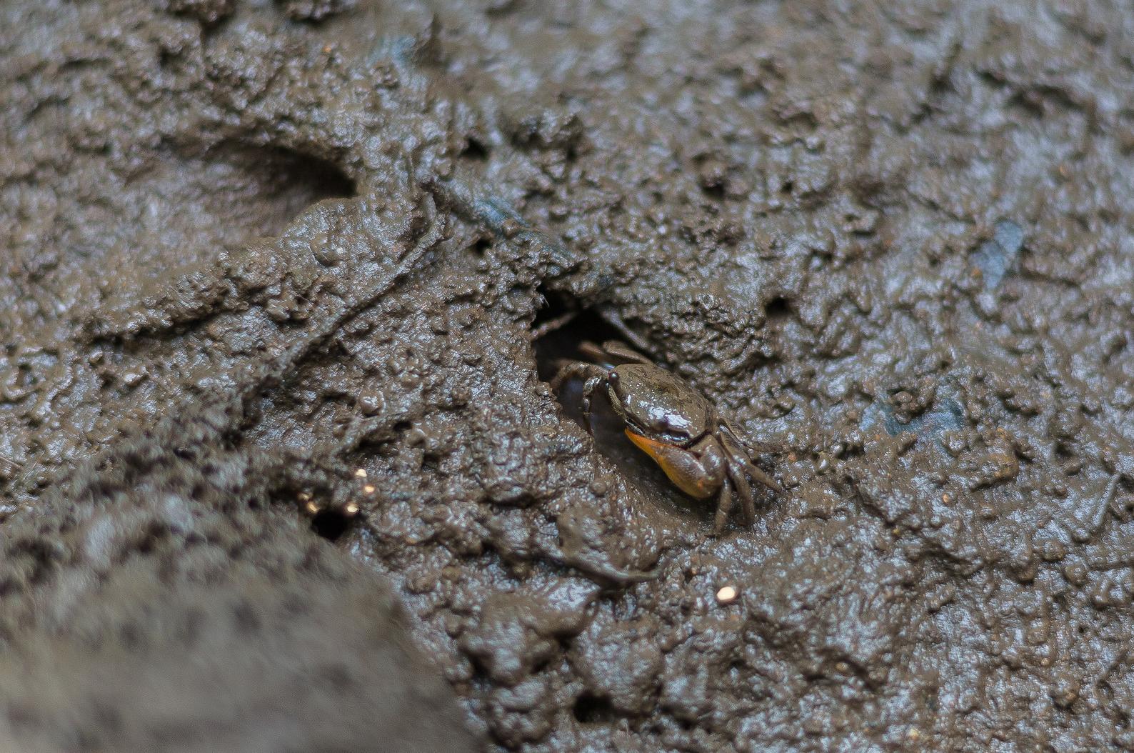 Im Schlick zwischen den Mangroven tummeln sich unzähliche Tiere wie diese Krabbe. Foto: ForestFinance/Katrin Spanke