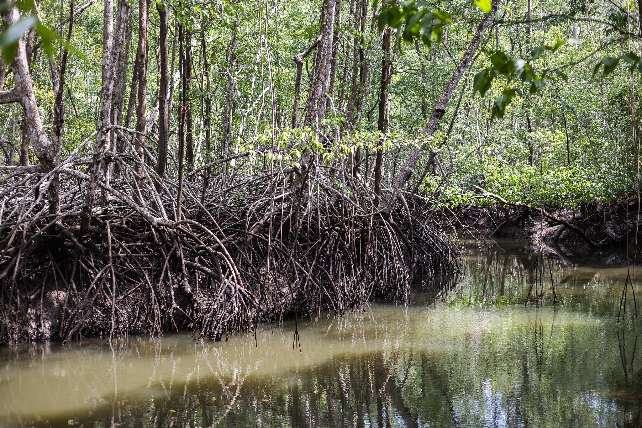 Mit dem imposanten Wurzelwerk wirken die Mangroven auf der Finca Los Monos, als ob sie jeden Augenblickt davonstaksen würden. Foto: ForestFinance/Katrin Spanke
