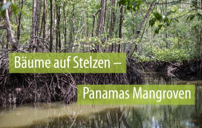 Überlebenskünstler auf Stelzen – Panamas Mangroven