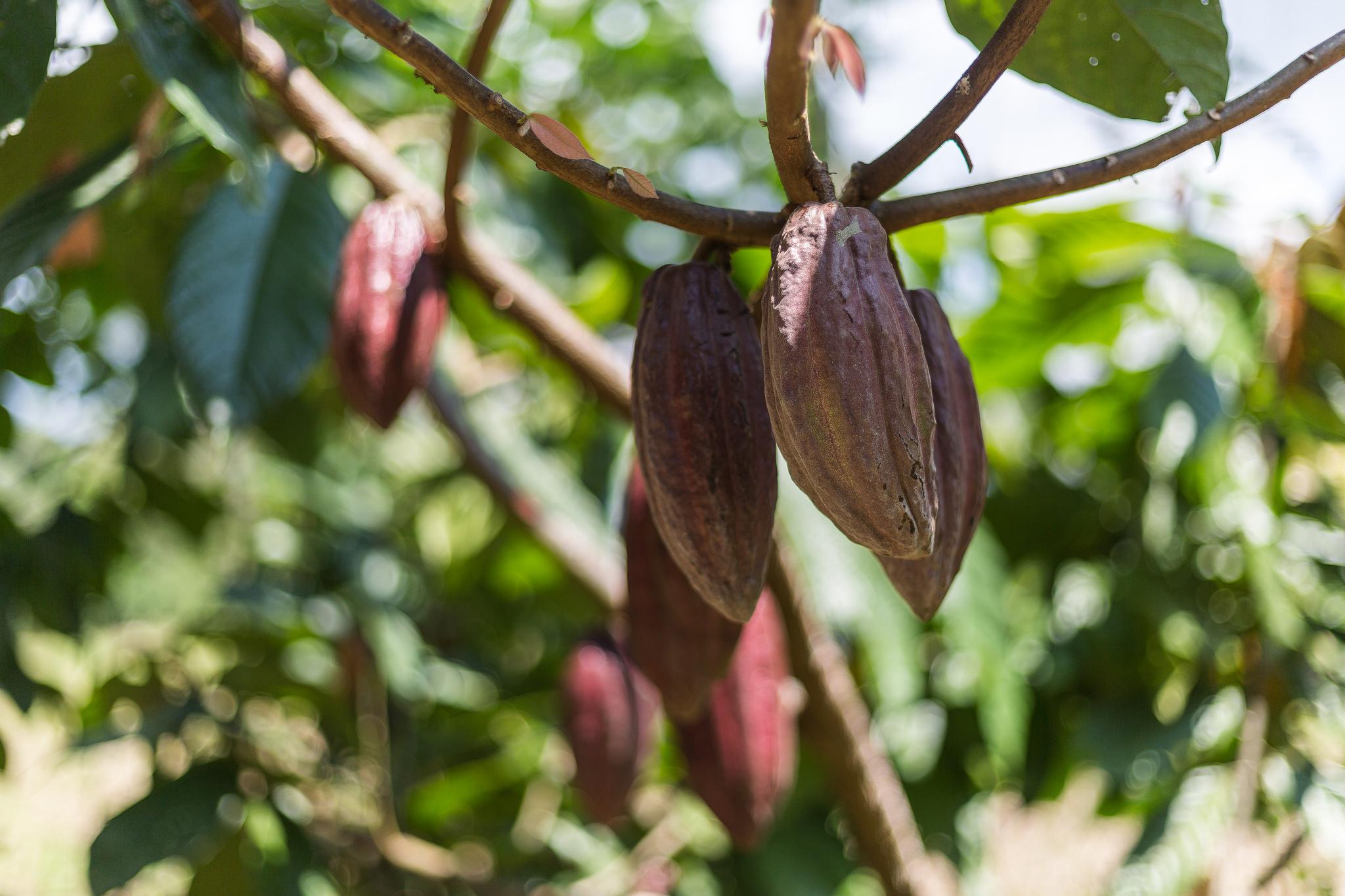 Kakaobohnen im Wald