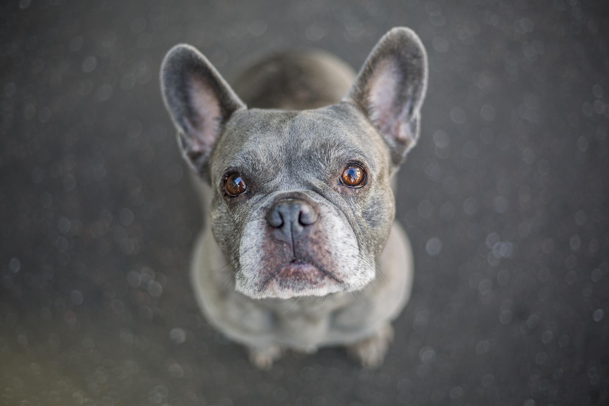 Krusty, die Französische Bulldogge. Foto: Katrin Spanke/ForestFinance