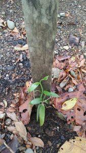 Noch sieht sie recht unscheinbar aus: Vanille in den ForestFinance-Wäldern. Foto: ForestFinance