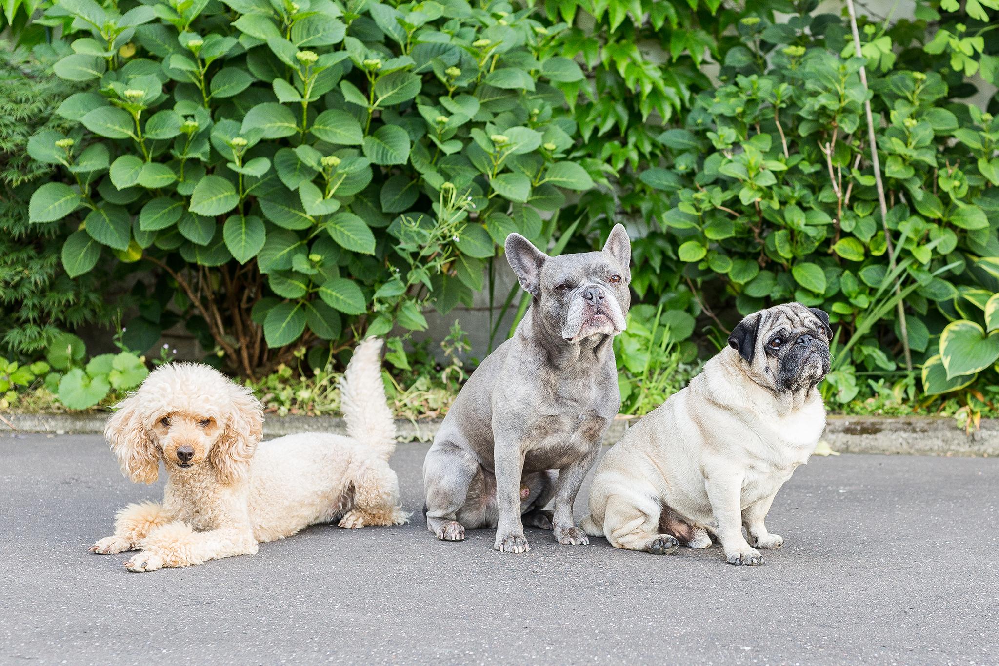 Die ganze Büro-Hunde-Truppe von ForestFinance: Pudel Wilma, Französische Bulldogge Krusty und Mops Arnold. Foto: Katrin Spanke/ForestFinance