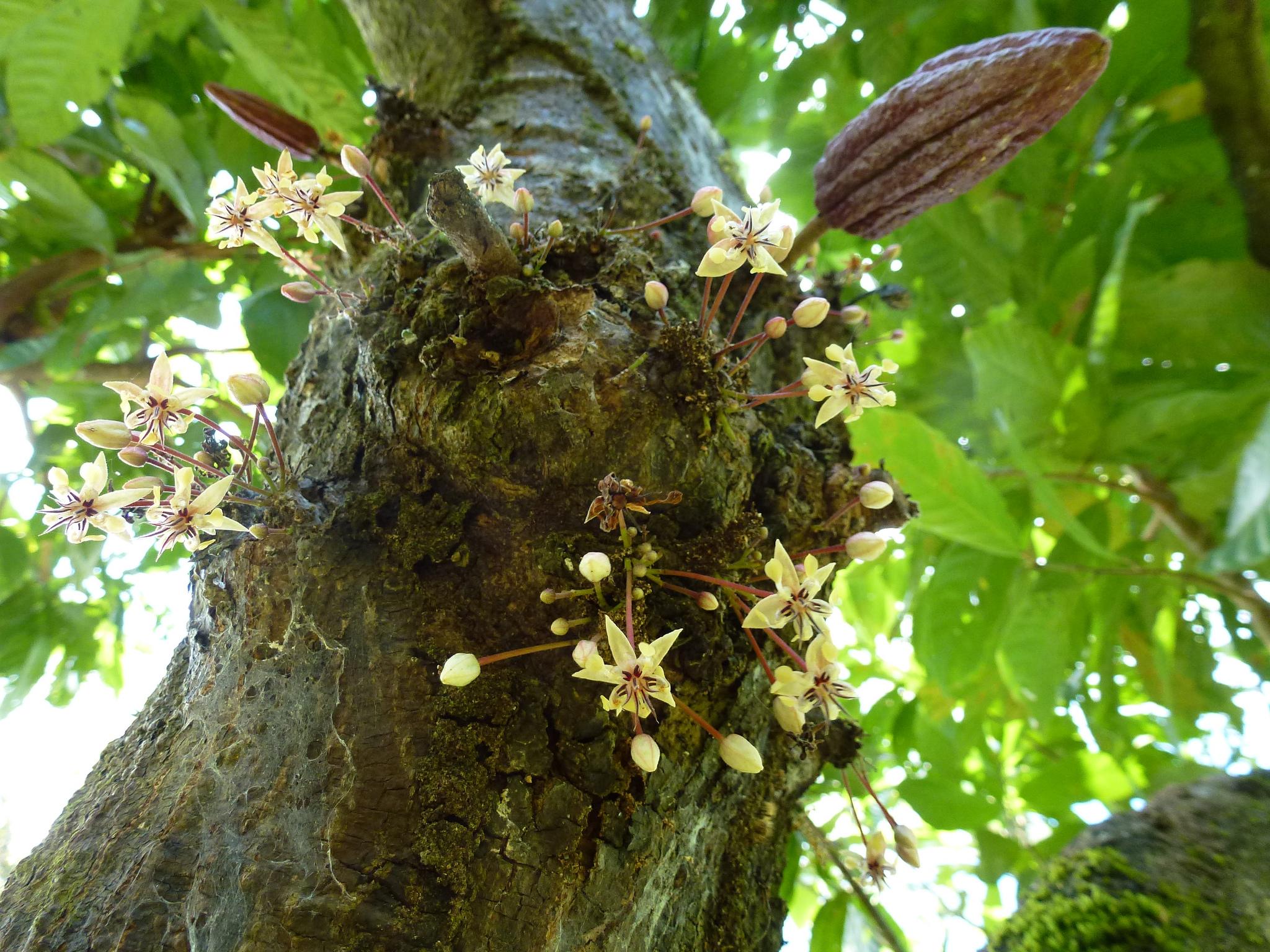 Blüten und Früchte wachsen gleichzeitig am Stamm des Kakaobaums. Foto: ForestFinance
