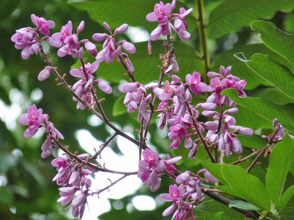 Wunderschön: die Blüten des Almendro-Baumes. Foto: ForestFinance