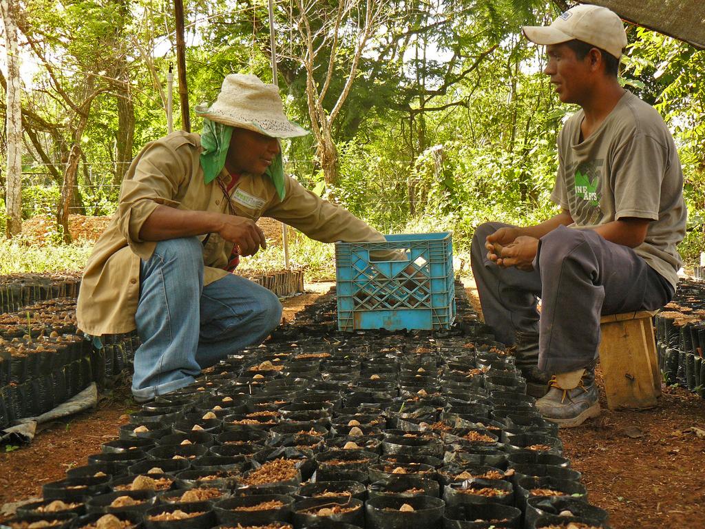 Unsere beiden Mitarbeiter der Baumschule La Luna in Las Lajas, Panama, stecken hier gerade die ovalen Samen des Almendros in Pflanztüten. Foto: ForestFinance