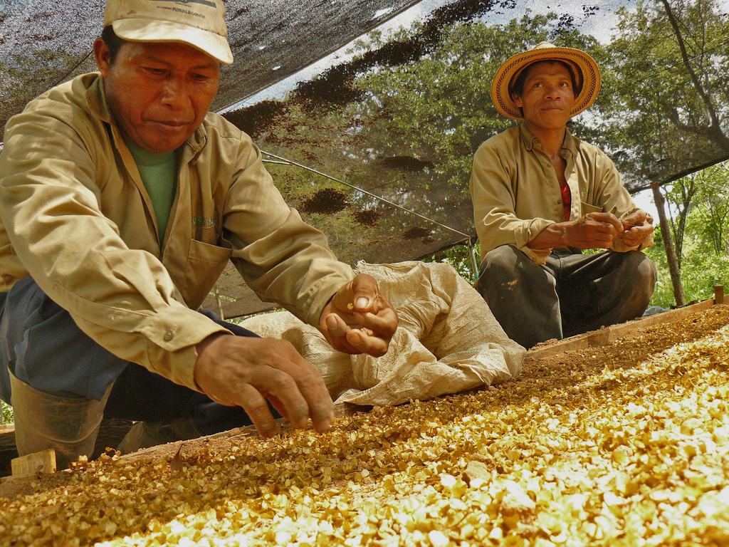 Goldgelb: die Samen des Amarillos. Foto: ForestFinance