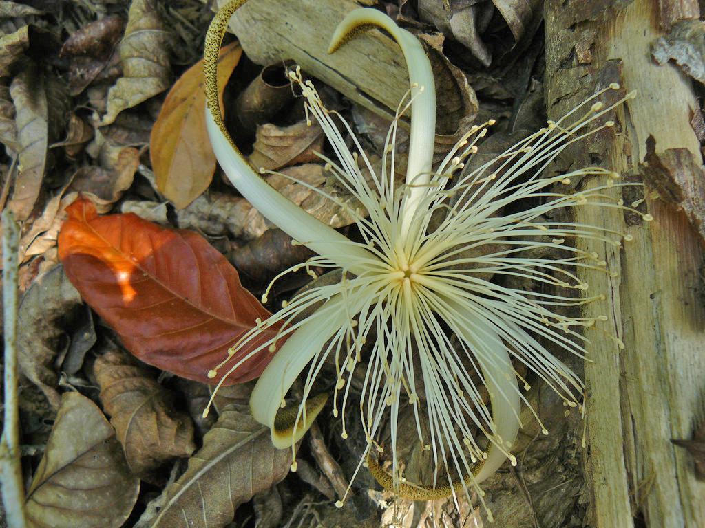 Echte Hingucker: die Blüten der Stachelzeder. Foto: ForestFinance
