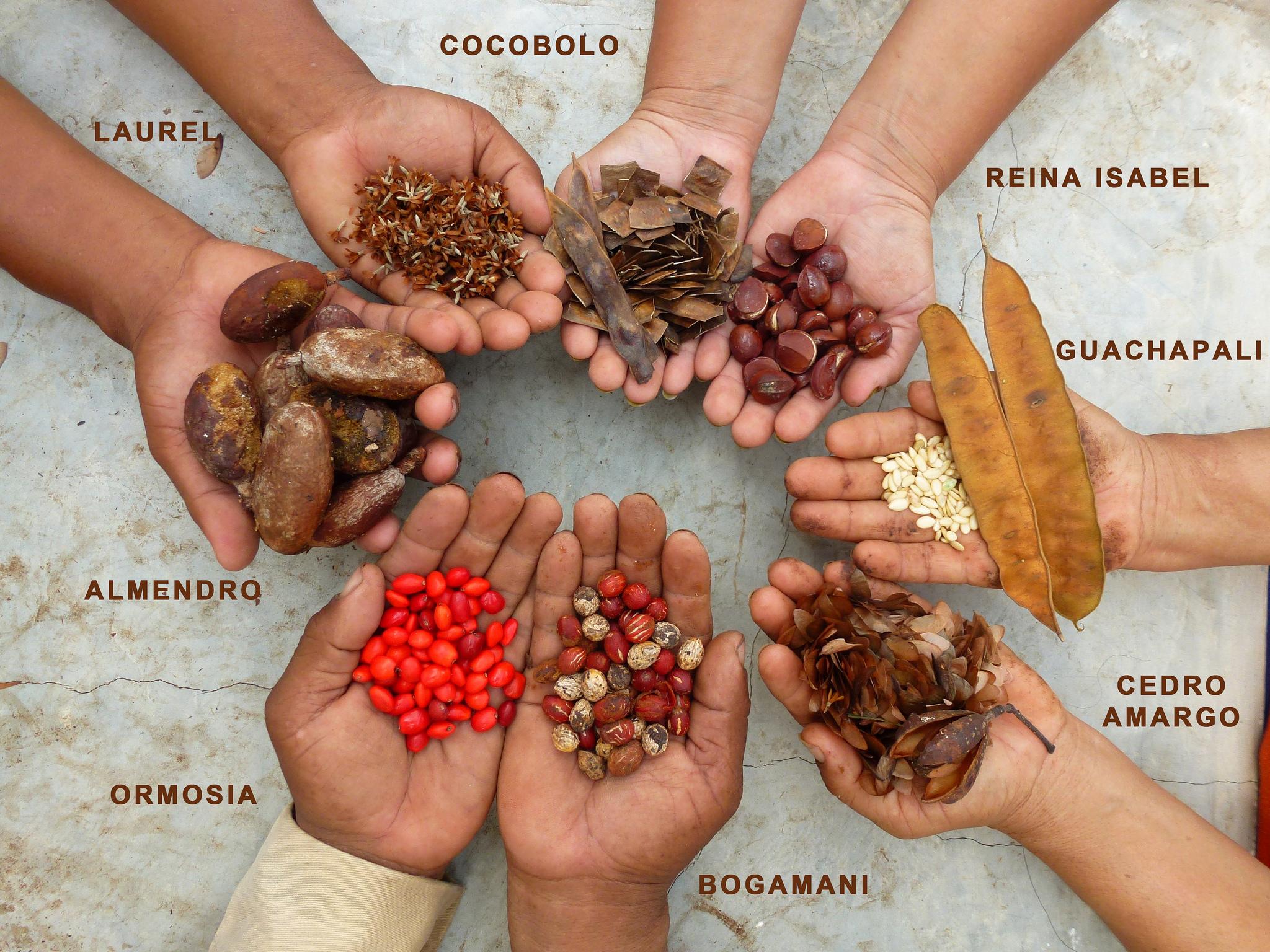 Auch ein Erntematerial: Samen, aus denen wir in unseren eigenen Baumschulen wieder neue Setzlinge für die nächste Generation Wald heranziehen. Die Samenvielfalt spiegelt die Artenvielfalt in den Wäldern wieder: statt Monokulturen pflanzen wir eine Vielzahl heimischer Baumarten. Foto: ForestFinance