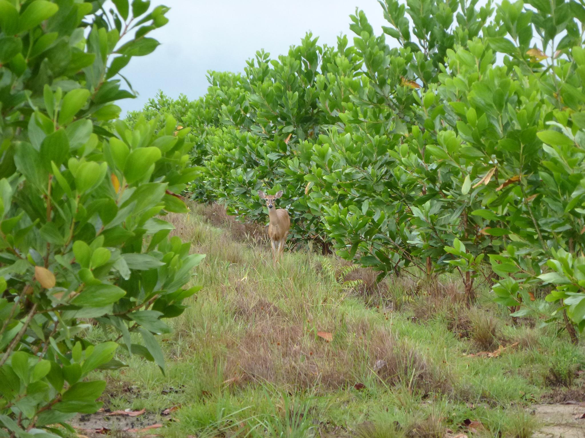 Auch ForestFinance forstet in Kolumbien auf brachliegenden Flächen Acacia-mangium-Bäume auf, die unter anderem als Energieholz Verwendung finden. Die Baumart reichert den Boden mit Stickstoff an und bereitet ihn so auf eine spätere Bepflanzung mit einem Mischwald vor. Foto: ForestFinance