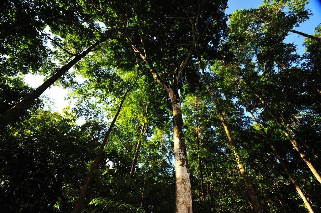 In den Tropen wachsen Bäume weit schneller als in unseren Breiten - hier ein ForestFinance-Wald in Panama. Foto: ForestFinance