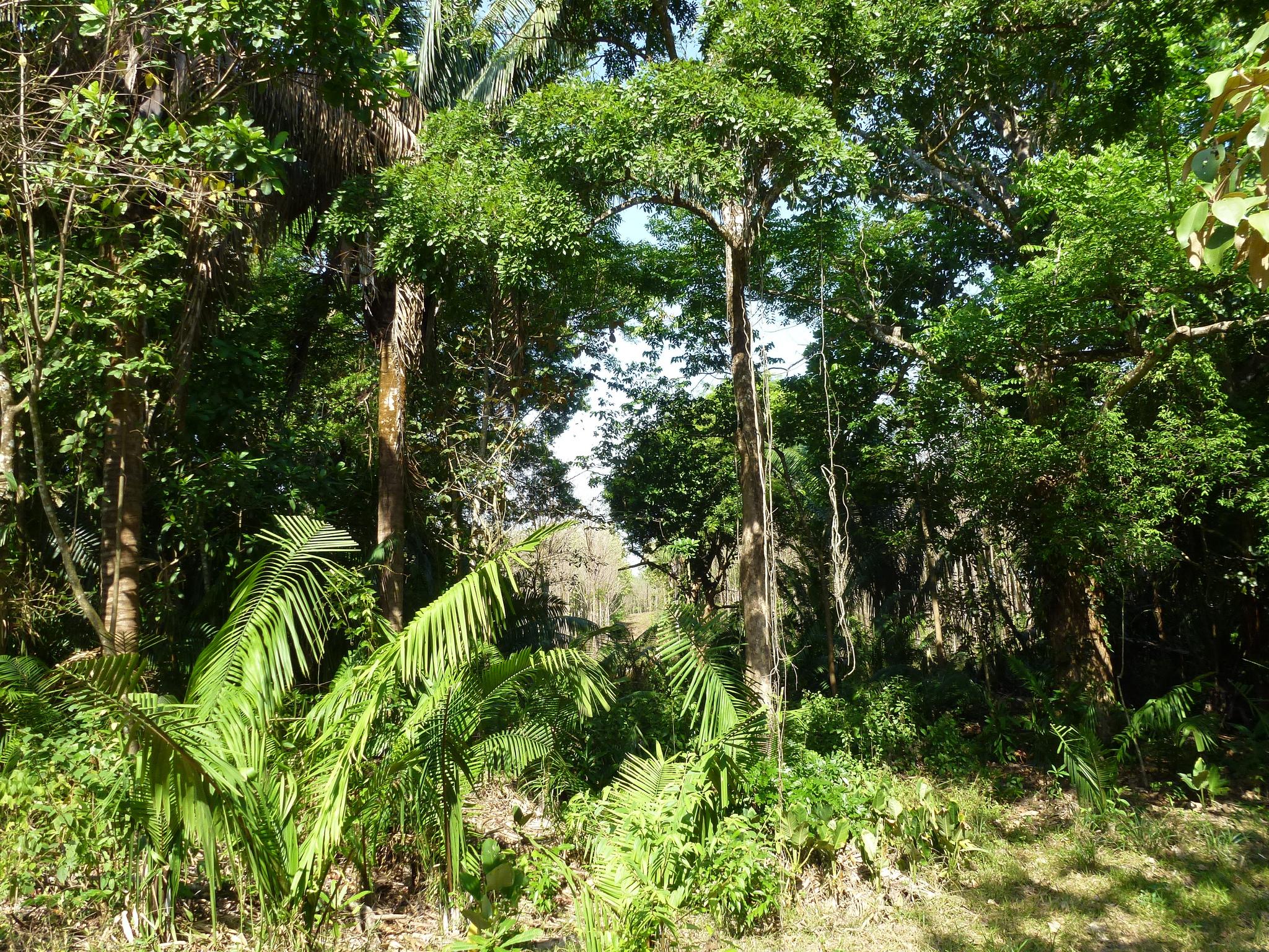 Dieser Wald darf auf einer Schutzfläche von ForestFinance in Panama ungestört wachsen. Foto: ForestFinance