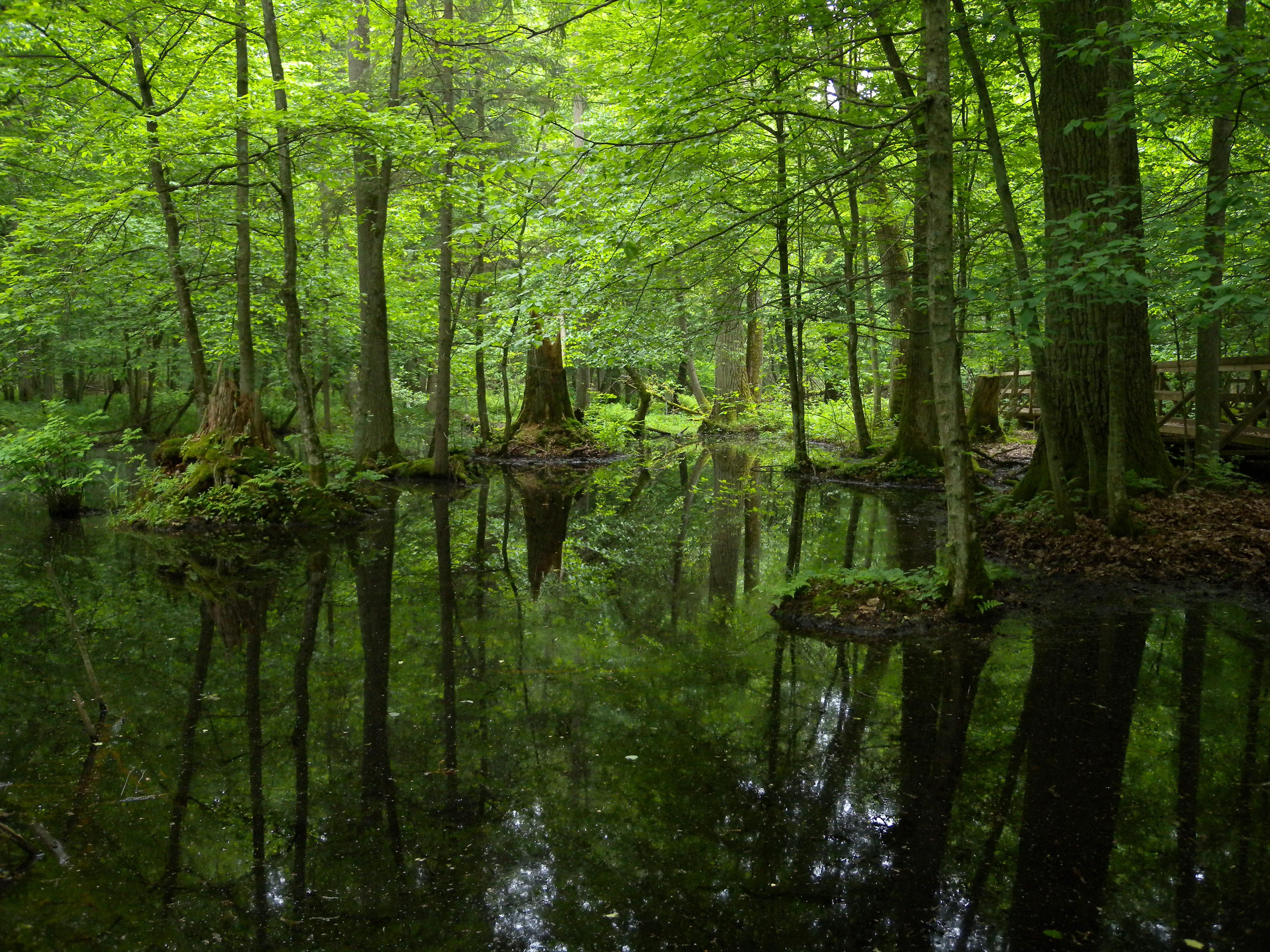Einer der letzten Urwälder in Europa: Der Białowieża Nationalpark