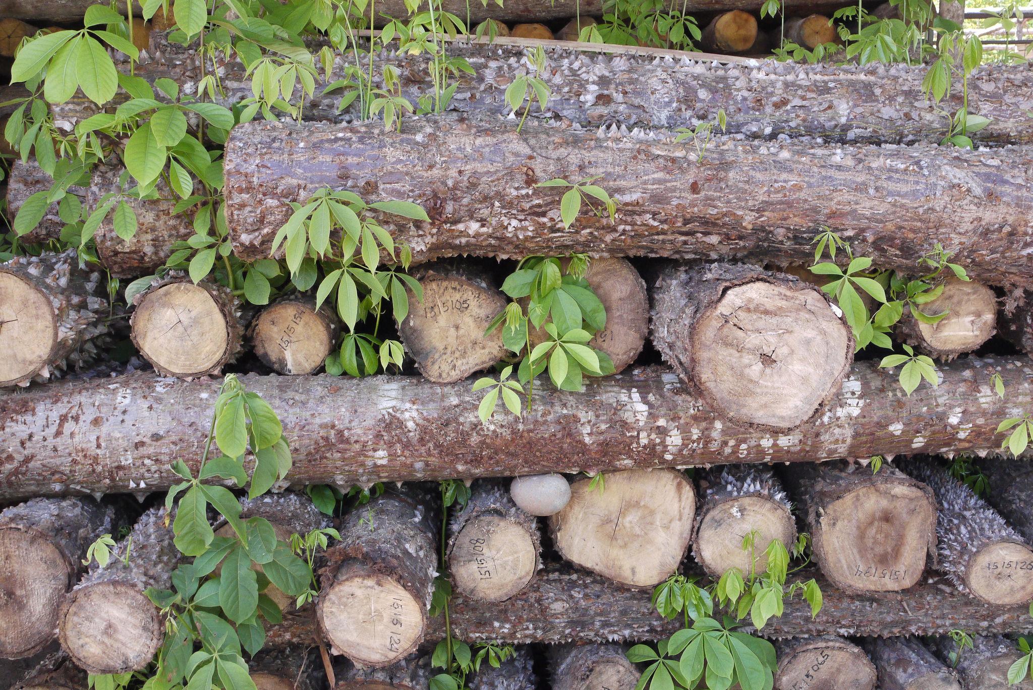 Entnommenes aus Holz aus einem Neutzwald