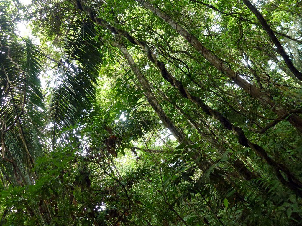 Die ForestFinance-Wälder in Panama wachsen - auch während der Krise - in Ruhe weiter.