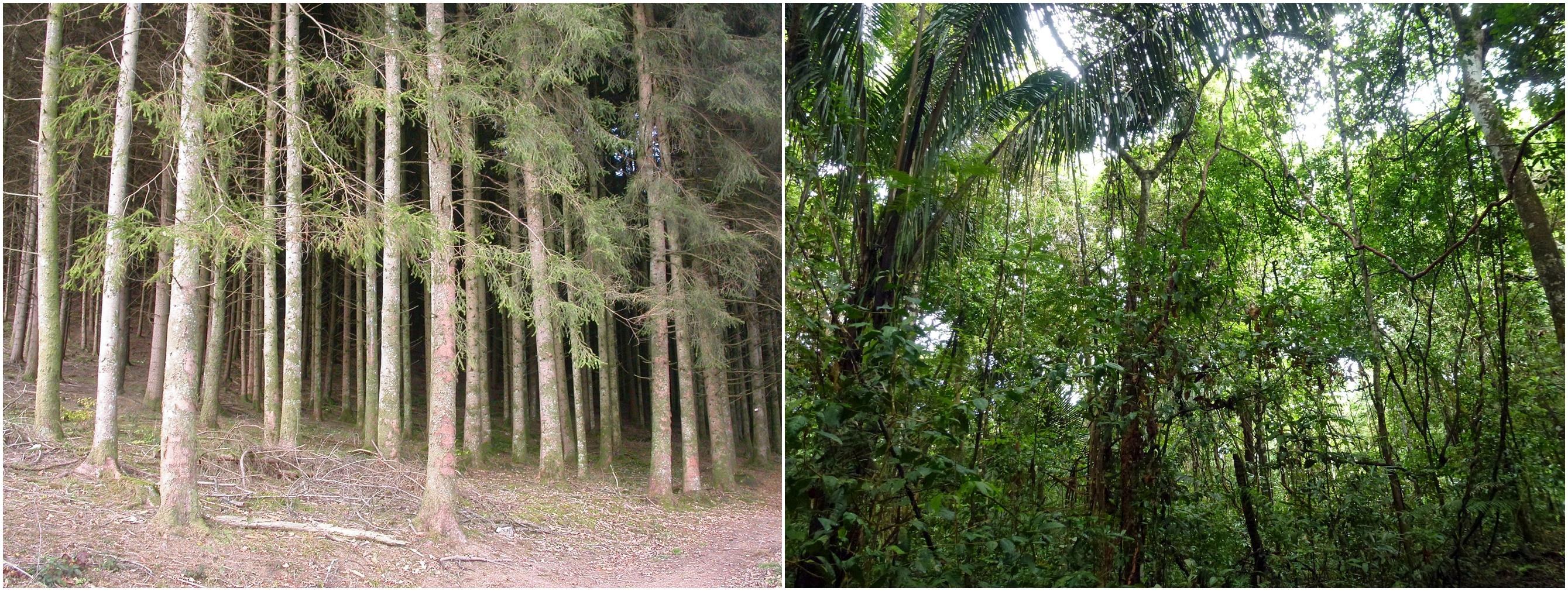 Fichtenmonokultur vs. artenreicher Mischwald