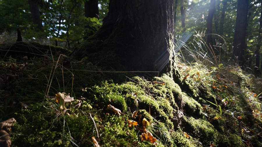 Zwischen den majestätischen Buchen im Waldfriedhof FinalForest in der Eifel kann man spüren, warum unsere Ahnen an Baummagie glaubten. Foto: ForestFinance