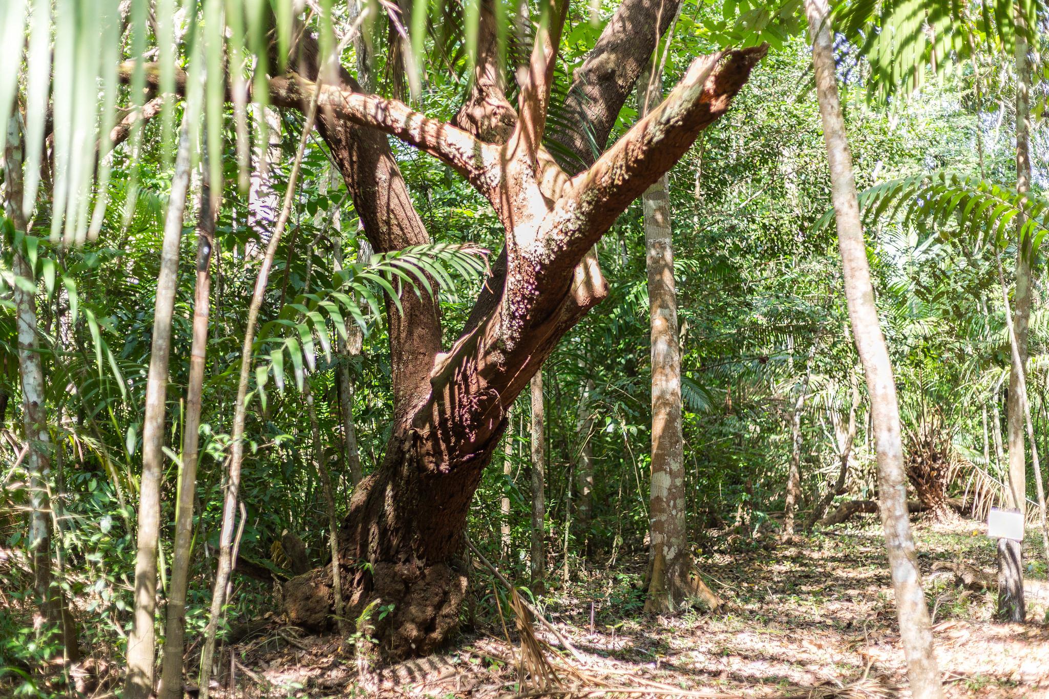 Ein so stattlicher und naturnaher Wald wie auf der ForestFinance-Finca Los Monos in Panama ist ohne Dauerwaldkonzept nicht möglich. Foto: ForestFinance