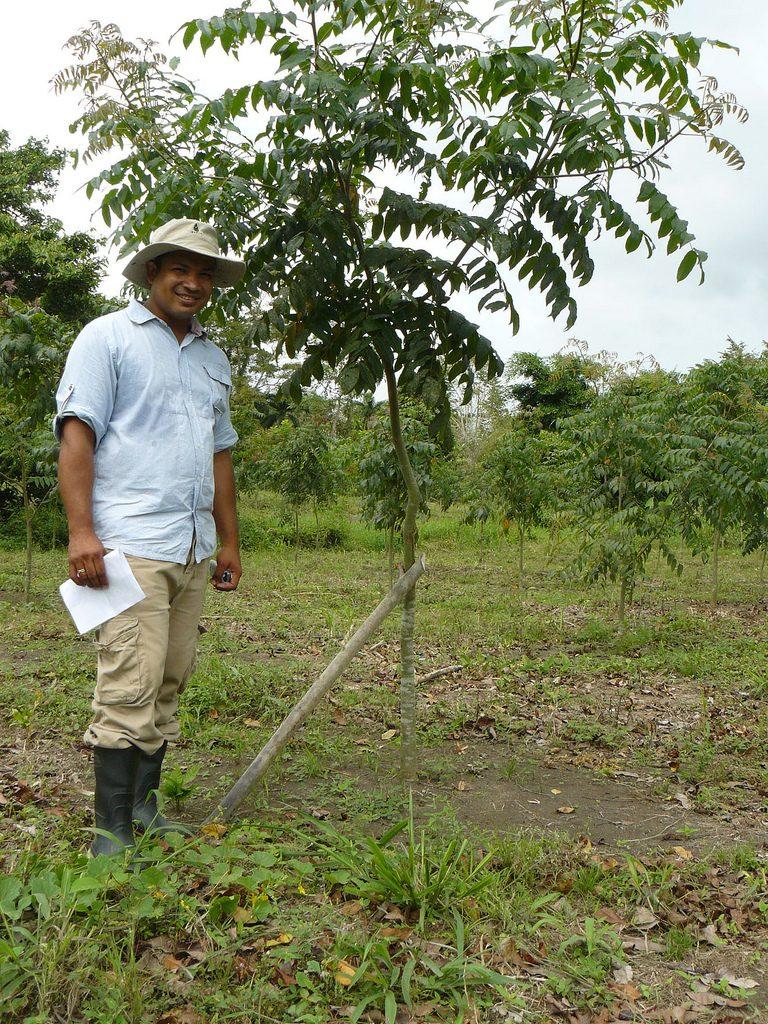 Junge Bäumchen brauchen viel Pflege: dieser Caoba-Baum wurde gerade von Forst-Ingenieur Pedro Garay gestützt um gerades Wachstum zu ermöglichen. Foto: ForestFinance