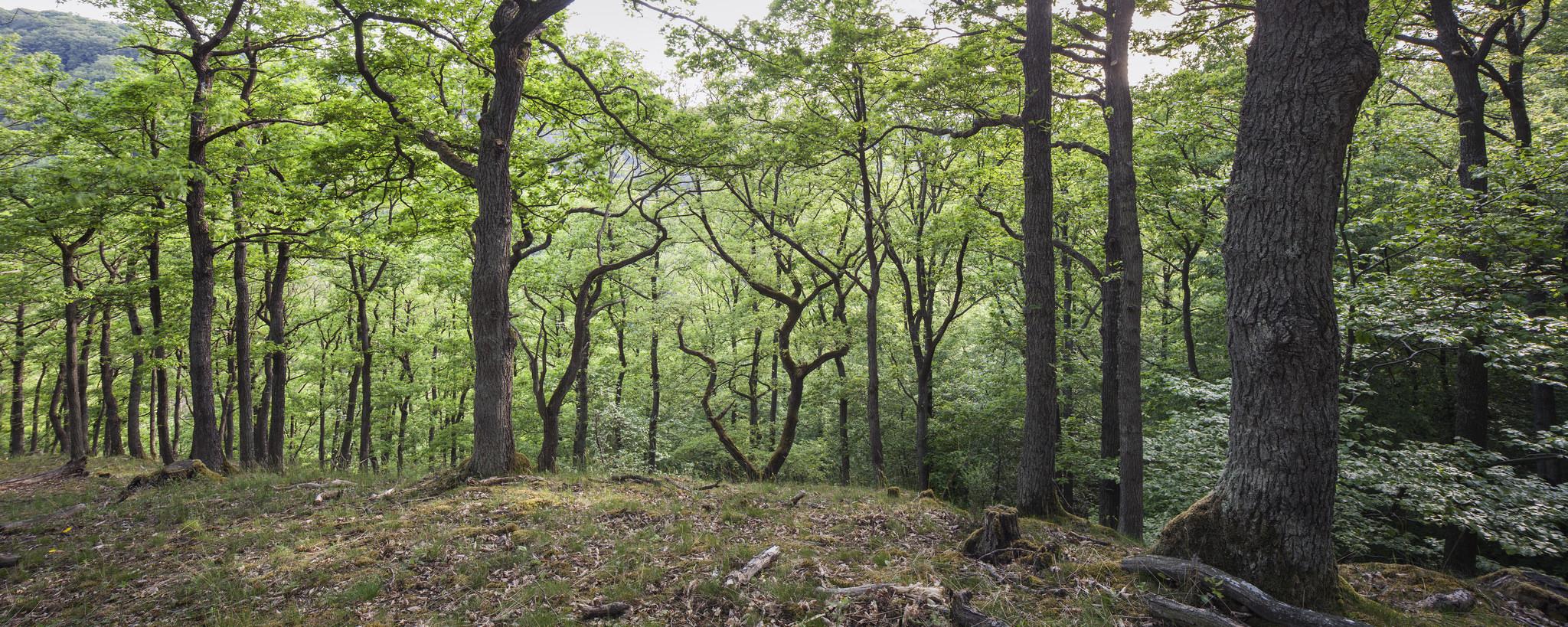 Im FinalForest und im Waldreservat WildeBuche in der Eifel dürfen jahrhundertealte Bäume ungestört wachsen. Foto: ForestFinance