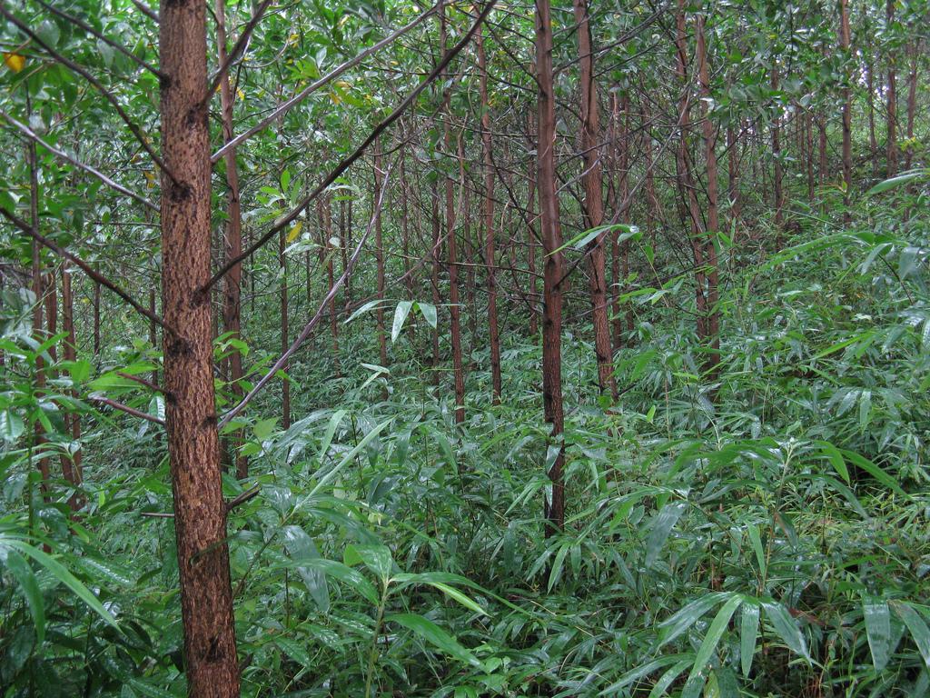Acacia mangium im Akazienforst, drei Jahre alt.