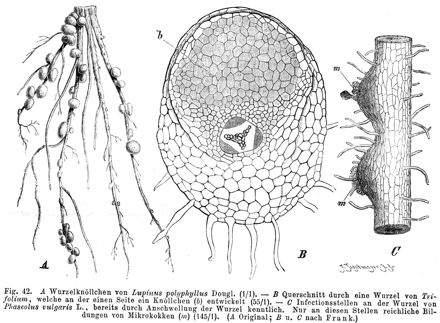 Wurzelknöllchen der Acacia mangium