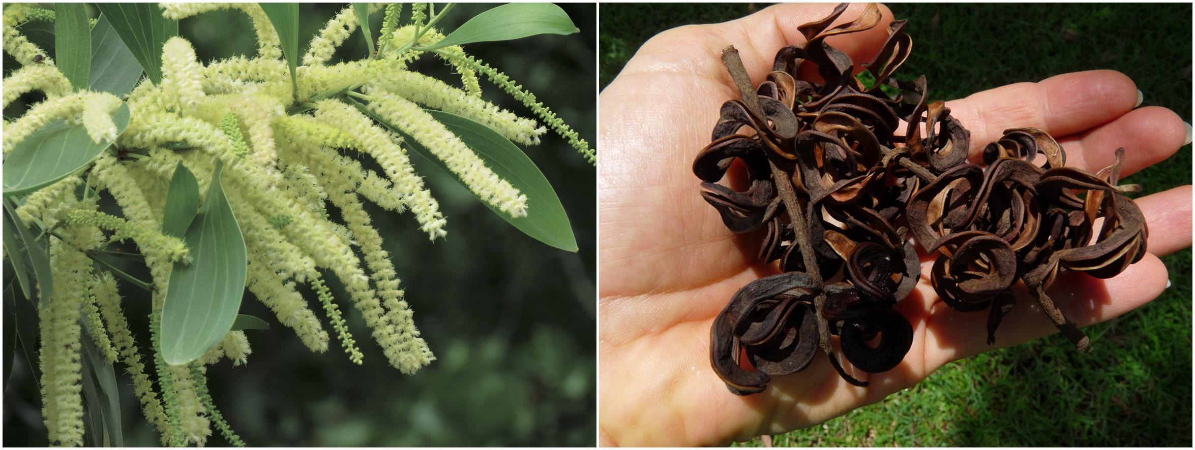 Links: Der Blütenstand der Akazie. Daneben die gekringelten Samen