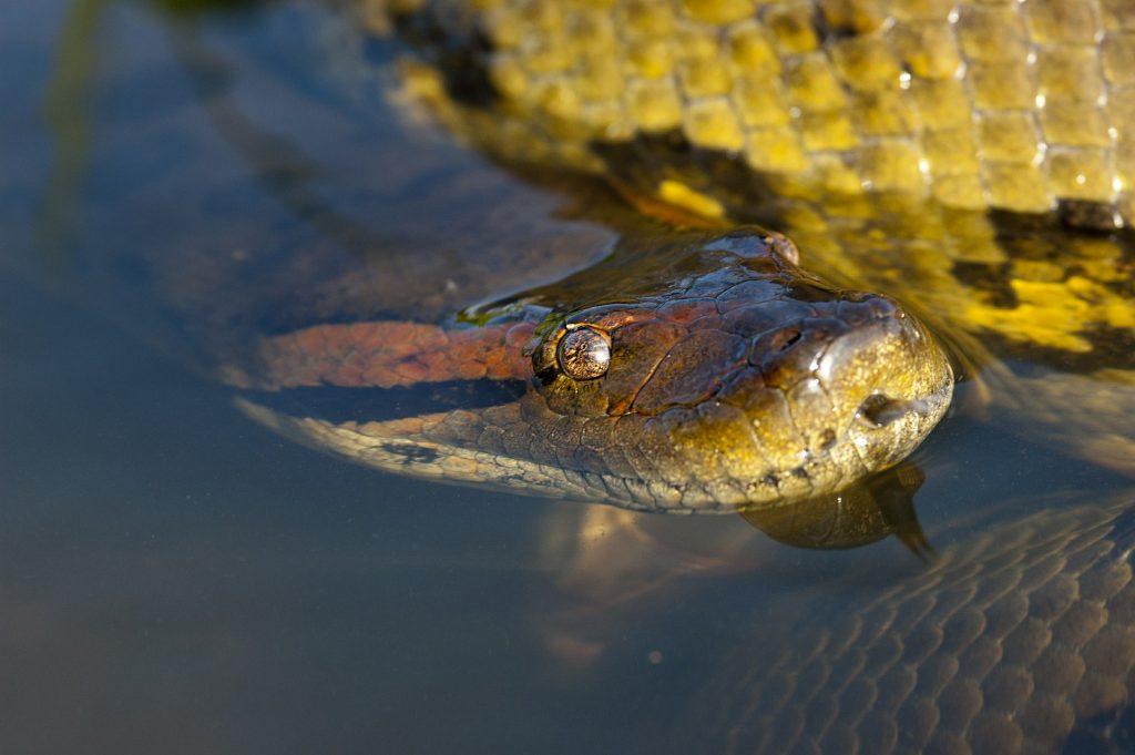 Lauert im Wasser: die große Anakonda. Foto: Pixabay/ddouk