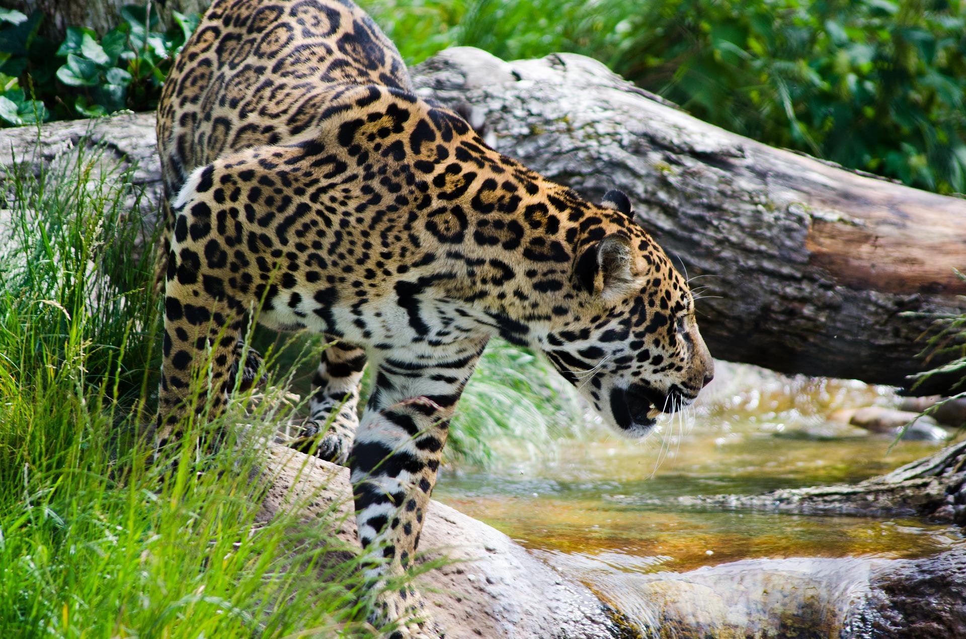 Auch Jaguare durchstreifen die Akazienforste in Kolumbien und nutzen sie als Trittsteinkorridore, um in andere Wälder zu gelangen. Foto: Pixabay