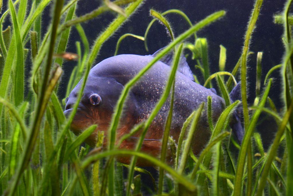 Piranha: von den einen gefürchtet, von den anderen als Angelfisch geschätzt. Foto: Pixabay/annca