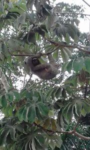Unsere Mitarbeiter*innen schicken uns regelmäßig Fotos von Tieren, die sie in den ForestFinance-Wäldern sichten. Dieses Faultier entdeckte unsere Biodiversitätsbeauftragte in Panama, Sabine Wischnat. Foto: Sabine Wischnat