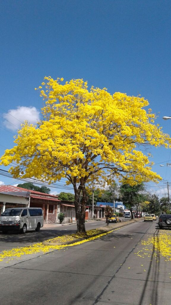 Mitten in der Ciudad del Saber in Panama City, wo unser Büro steht, hat Juan Diaz diesen schönen Baum gefunden.