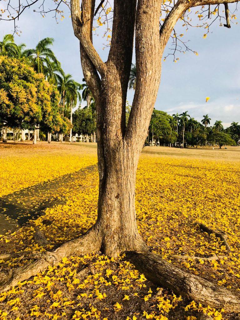 Das Gewinnerbild. Das Ende der Woche ist gekommen und mit ihr sind die Blütenblätter des Guayacan-Baumes gefallen - der Beginn der Regenzeit. Das Bild wurde in einem Park nahe unserem Büro aufgenommen. Wir gratulieren!
