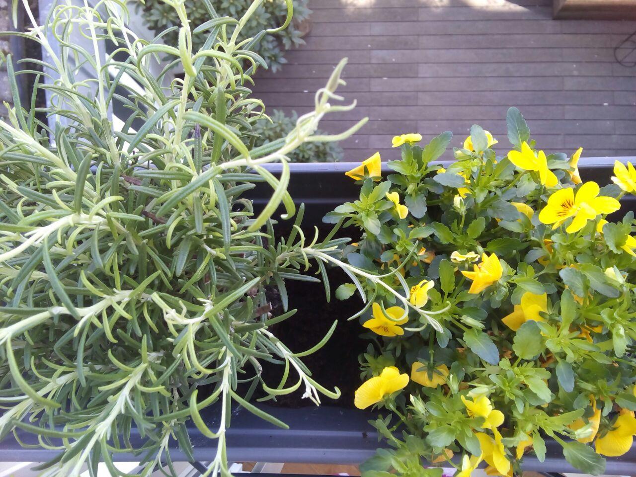 Neben die Stiefmütterchen habe ich in diesem Jahr Rosmarin gepflanzt, der – im Gegensatz zu den hübschen Blümchen – Insekten Nahrung bietet. Foto: NIna Rattay