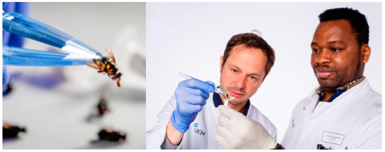 Prof. Frieder Schaumburg und Francis Onwugamba, PhD-Student aus Nigeria, bei der Untersuchung einer Fliege. Auf Fliegen – hier eine Schmeißfliege (Calliphora sp.) – konnten bereits sämtliche hoch gefährlichen Antibiotikaresistenzen nachgewiesen werden. Foto: FZ/E. Wibberg