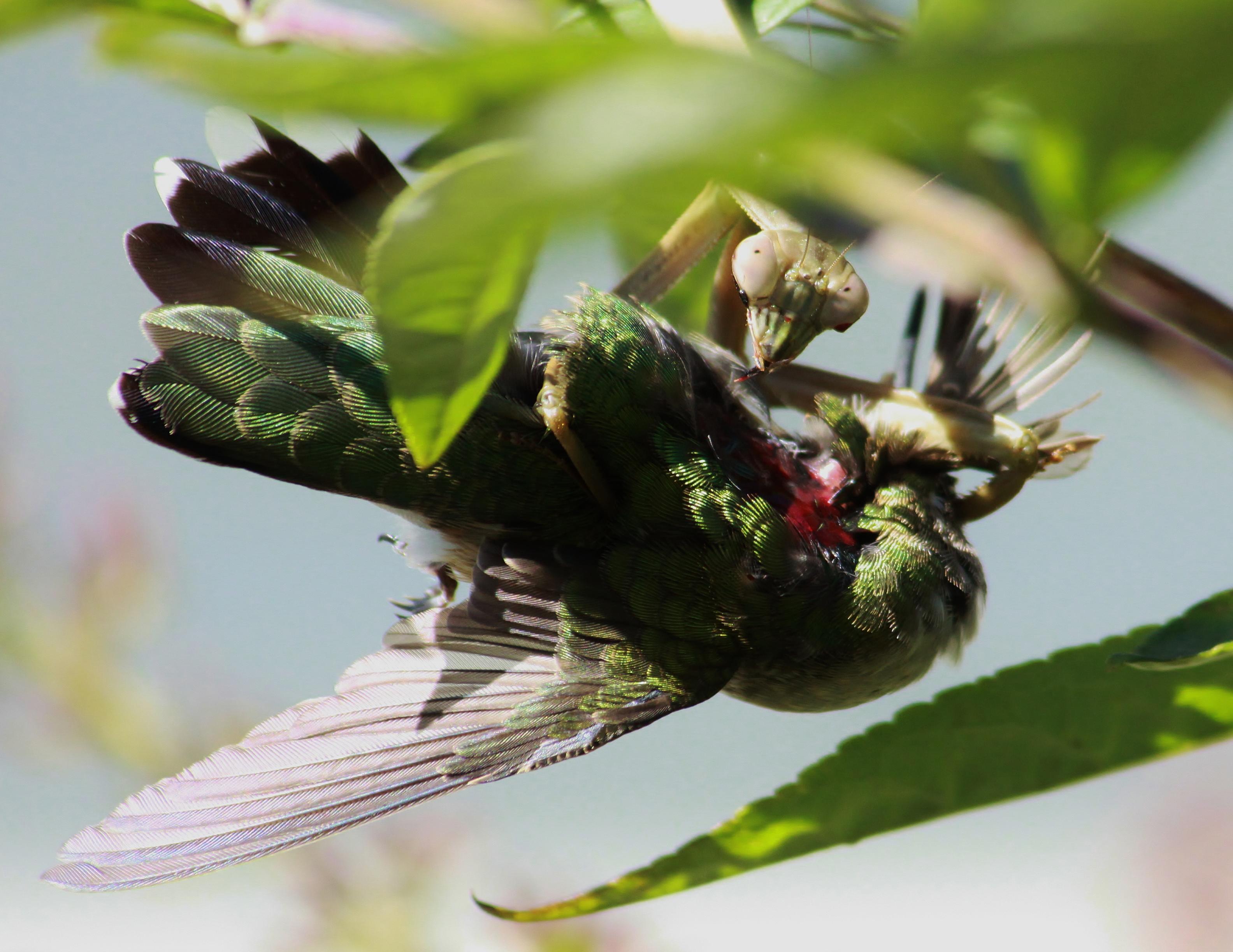 """Erfolgreiche Jagd: Gottesanbeterin (Tenodera sinensis) mit einem Rubinkehlkolibri (Archilochus colubris) als Beute. Illinois, USA. Bild: mit freundlicher Genehmigung von """"What's That Bug?"""", Randy Anderson"""