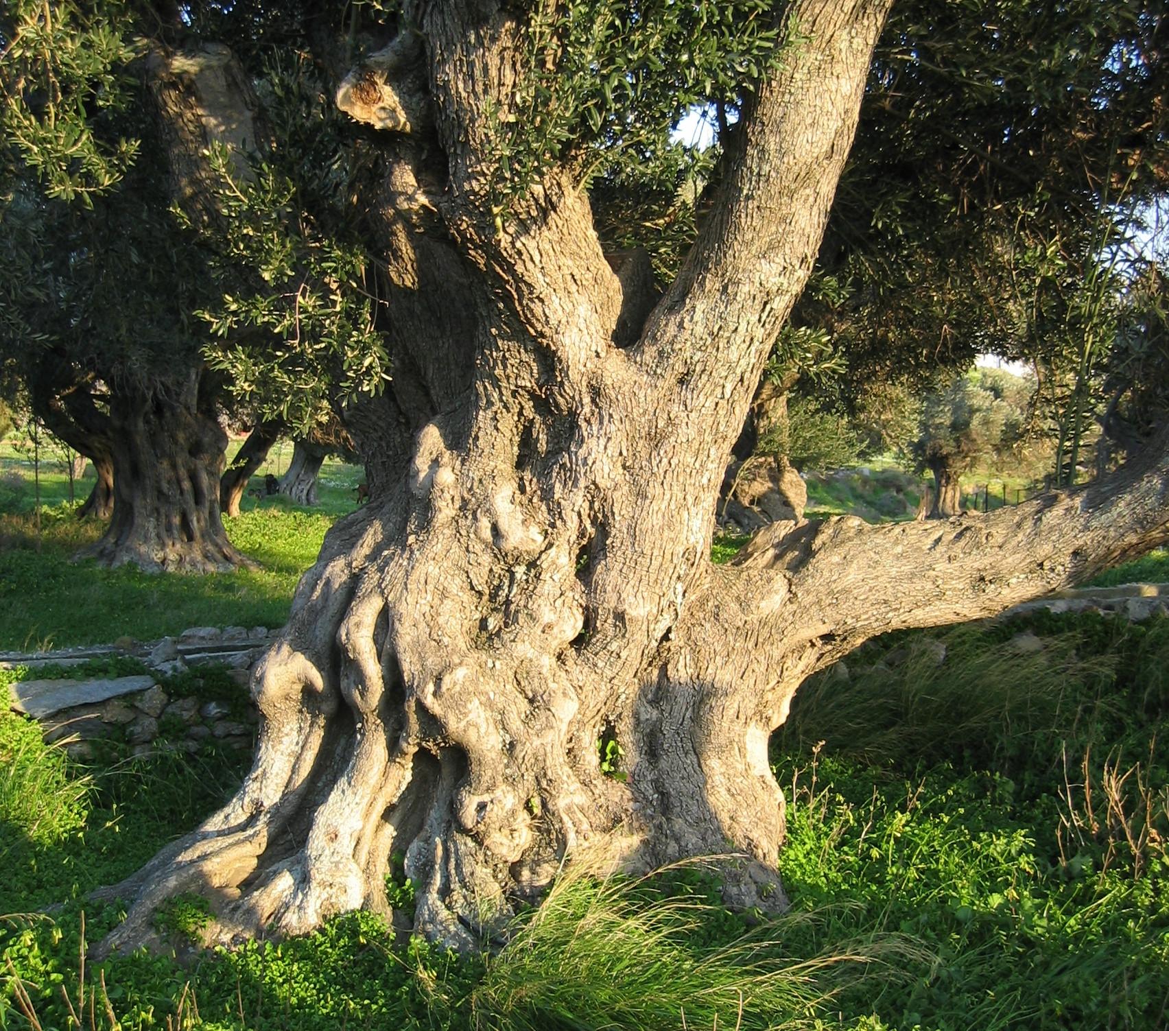 Altehrwüdiger Olivenbaum in Karystos, Griechenland. Foto: Tim Bekaert