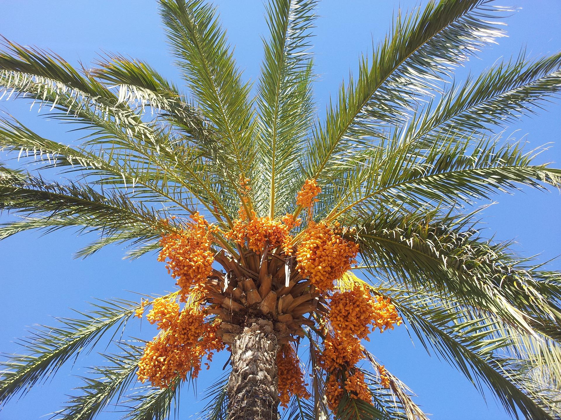 Dattelpalme mit frischen Früchten