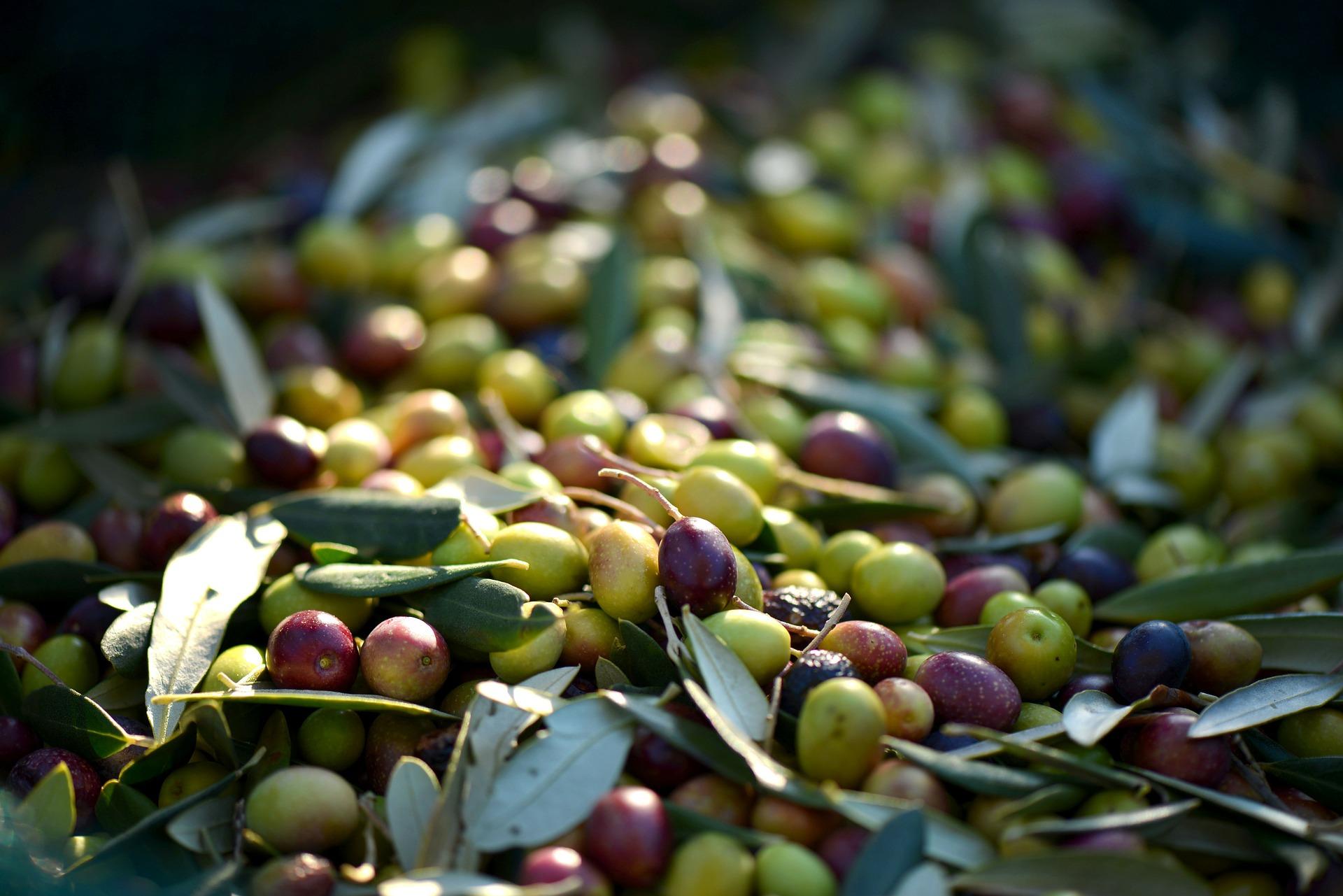 Die Farbe der Olive verrät - sofern sie nicht künstlich gefärbt wurde - ihren Reifegrad. Foto: pixabay
