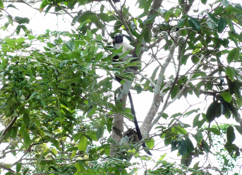 Ein Geoffroy-Perückenaffe in einem ForestFinance-Wald. Auch im SchutzWald leben viele Affen – sicher vor Waldarbeitern und Rodungen. Foto: ForestFinance/Angel Flores